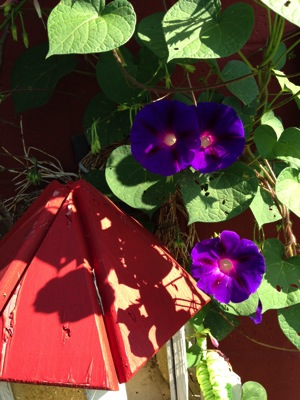 MorningGlories5