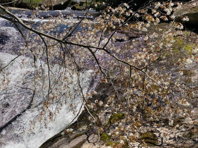 blooming tree lays across waterfall