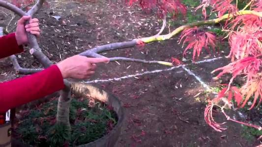Japanese maple tree care
