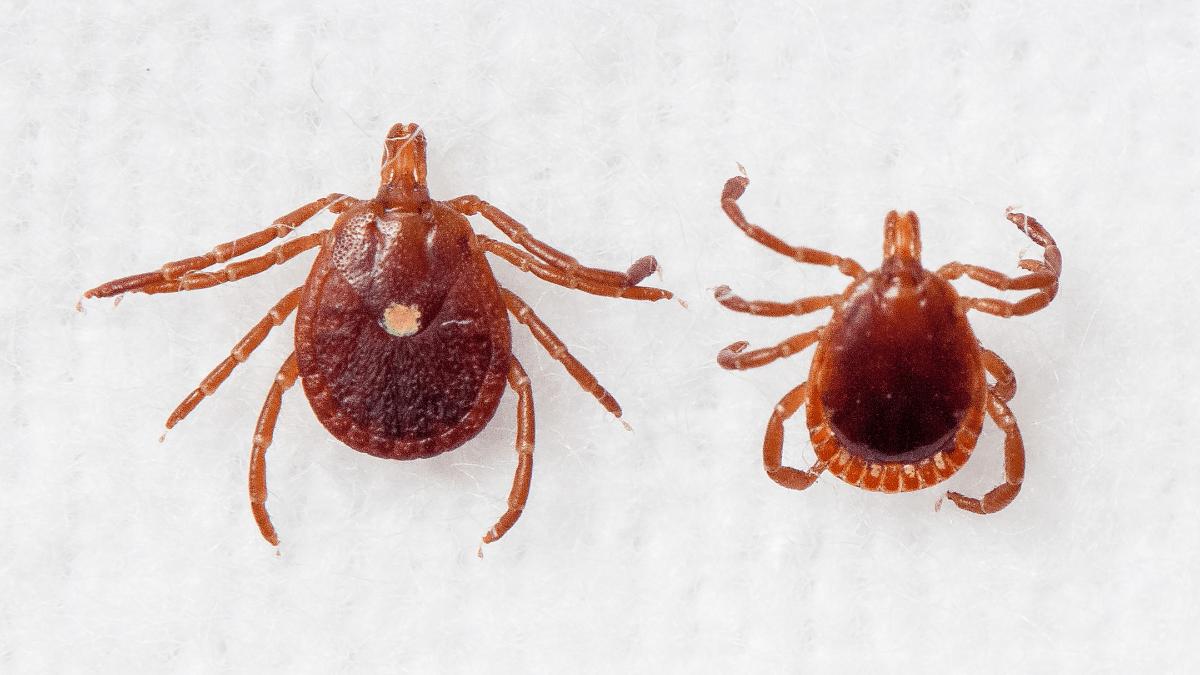 Male and female lone star ticks