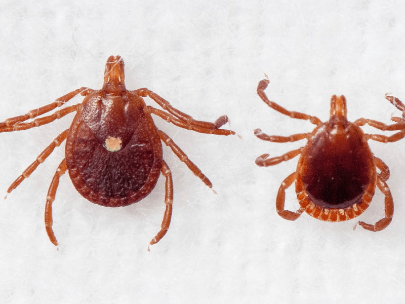 Male and female lone star ticks
