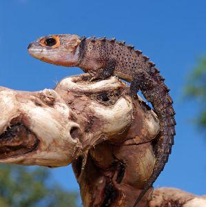 Lizard Red Eyed Crocodile Skink