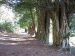 Yew alley on the grounds of old wardour