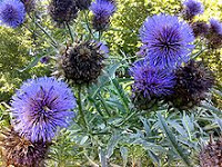 Photograph of an artichoke thistle in bloom