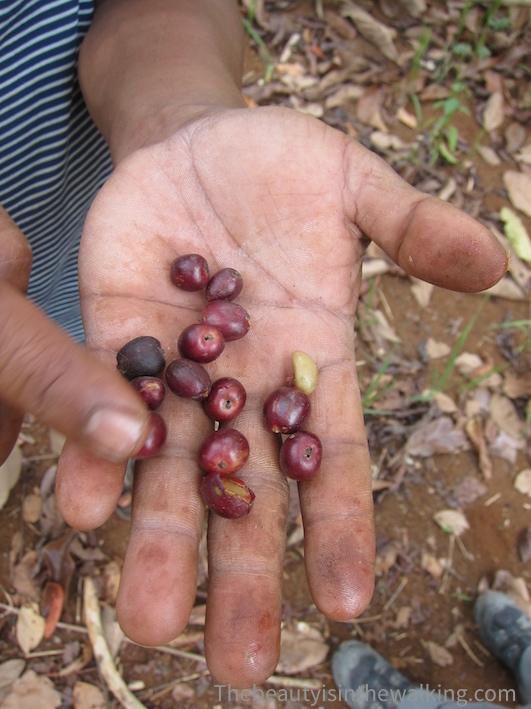 Des grains de café du plateau des Bolovens