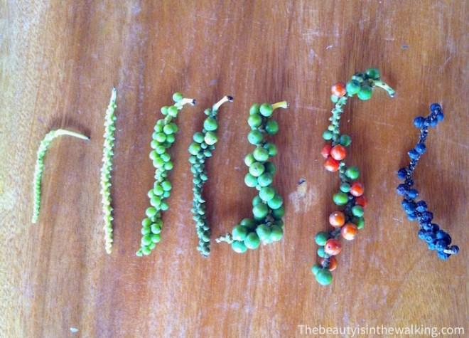 Les différentes étapes de la vie d'une tige de poivre.