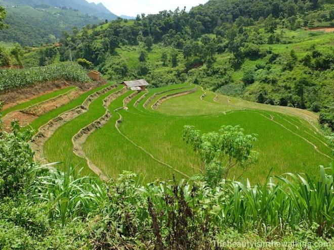 rizières vertes - Ha Giang geoparc