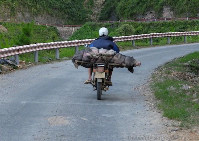 Un cochon sur un scooter