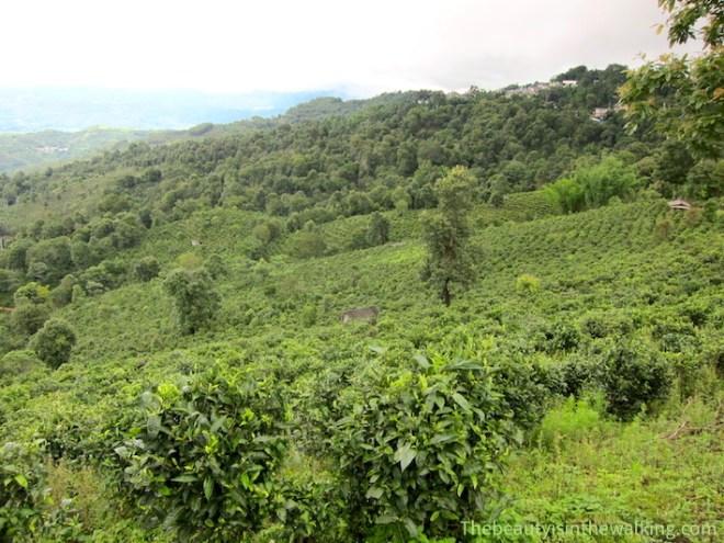 Young tea garden