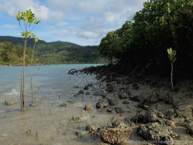 Mangrove on Lady Island