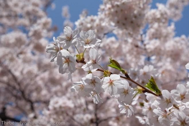 Cerisiers en fleurs au parc Gappo, Aomori