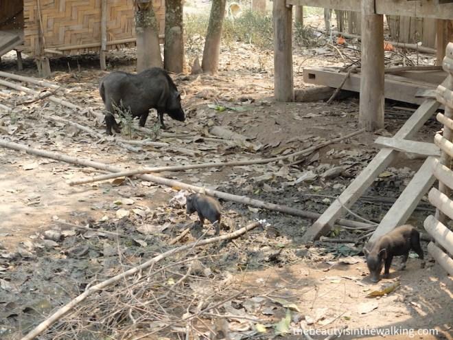 Cochons dans un village laotien