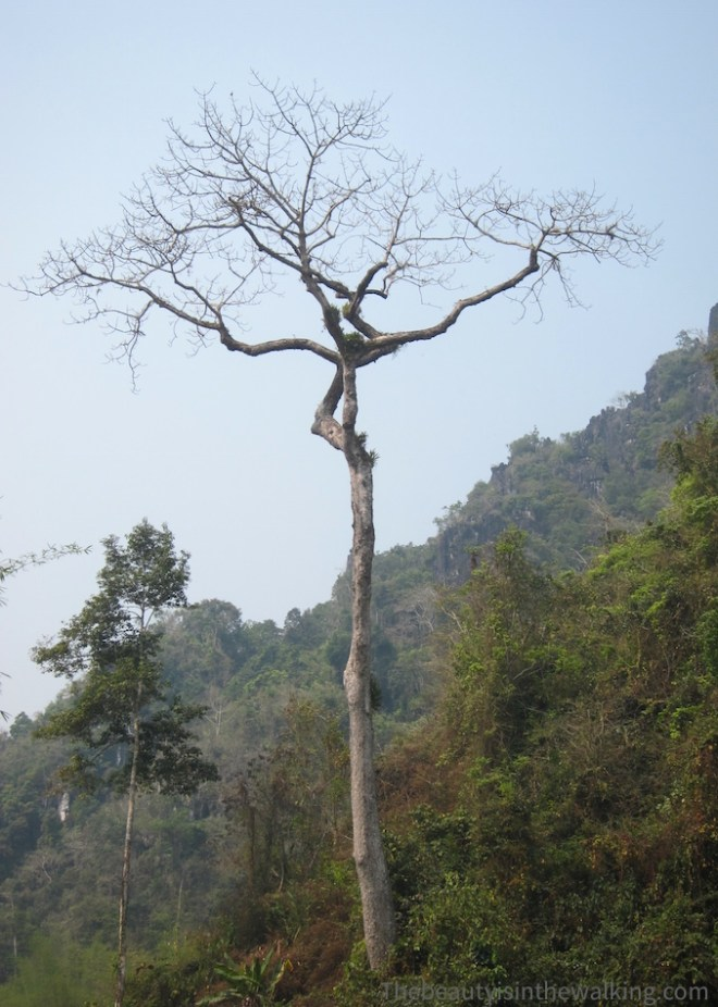 Arbre, Laos