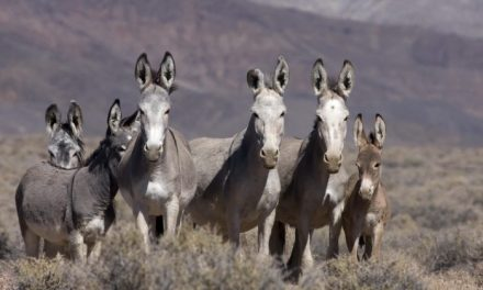 """LTE: """"Mayor Brady, We Have An Idea For The Burro Issue"""""""