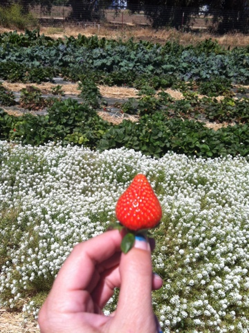 If you plant alyssum with your berries it is a natural pest control! I learned something!