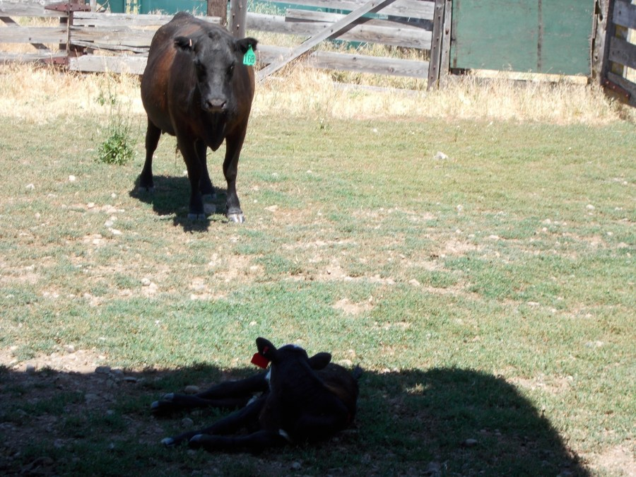 """The cow thinking her baby came back and a very hungry bottle baby in a """"jacket""""."""