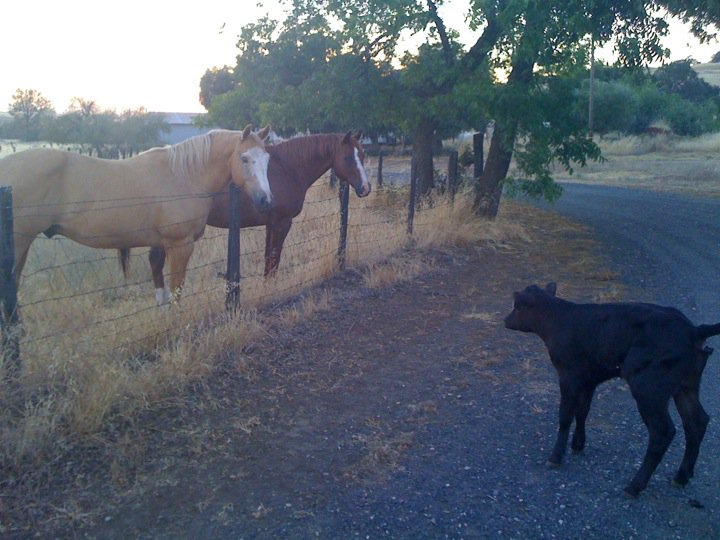 Even the bottle calves had the crap scared out of them by Leo.