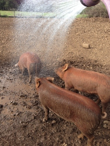The pigs love being sprayed. LOVE IT.