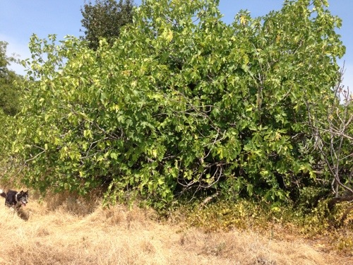 This is what a mission fig tree looks like.