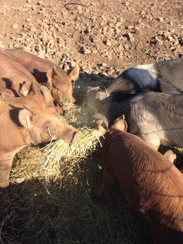 Have I mentioned how much they love hay? I have to replace their bedding hay often because they eat it! It probably doesn't help that I use Dad's meadow hay instead of straw!