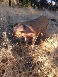M as a piglet last Fall