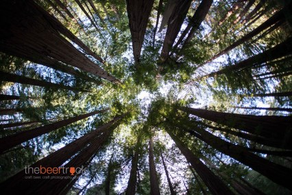 Redwoods...from the floor of Muir Woods National Monument