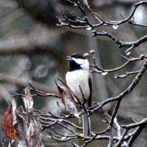 Chickadee-Singing in the Rain