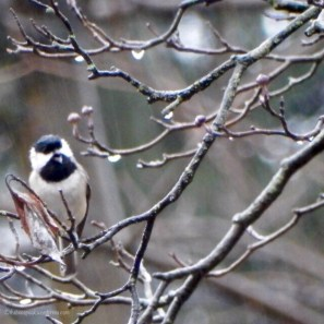Sweet Carolina Chickadee