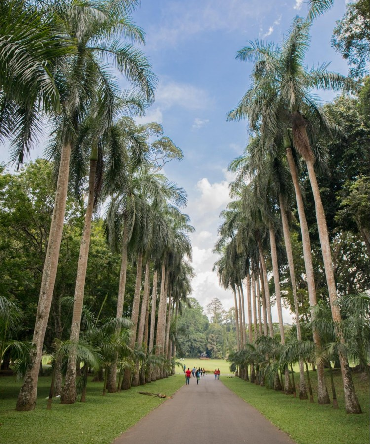 Palm Avenue in the Royal Botanical Gardens (Peradeniya Park), Kandy, Sri Lanka. Photographed by Shika Finnemore - thebellephant.com
