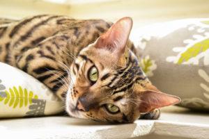 bengal cat price