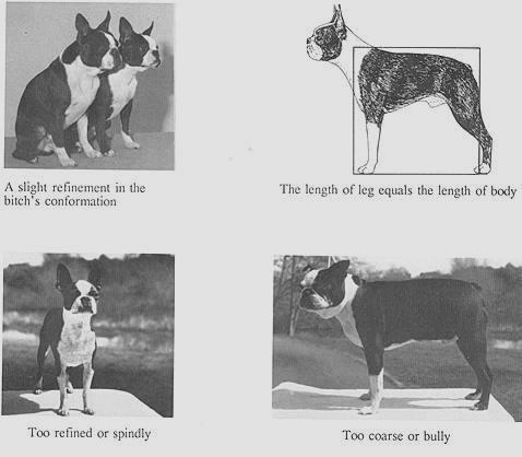 boston terrier standard
