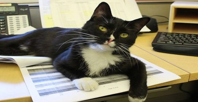 The Humane Society of Huron Valley in Ann Arbor is now letting cats with feline leukemia live in its offices. Hayes at home on the desk. (Photo: Humane Society of Huron Valley)