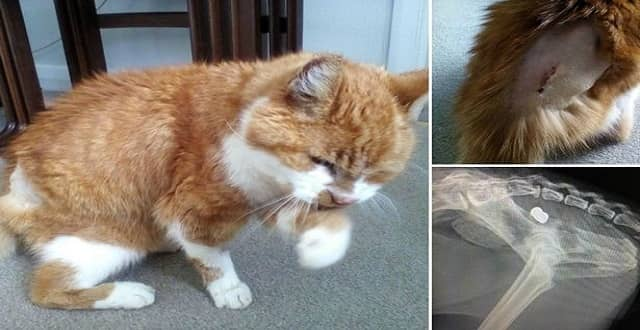 Twenty-three year old Chester the cat who is recovering after being shot with an air rifle
