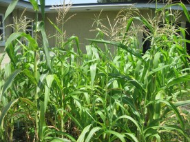 Stalks of Corn With Tassels