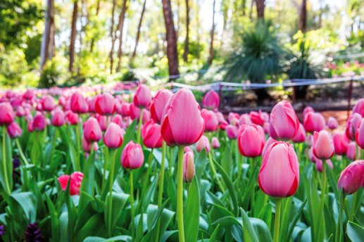 araluen_tulips_1