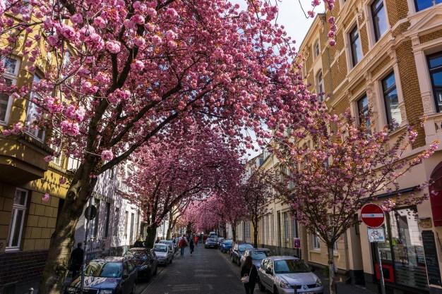 cherry-blossoms-6271994_1920