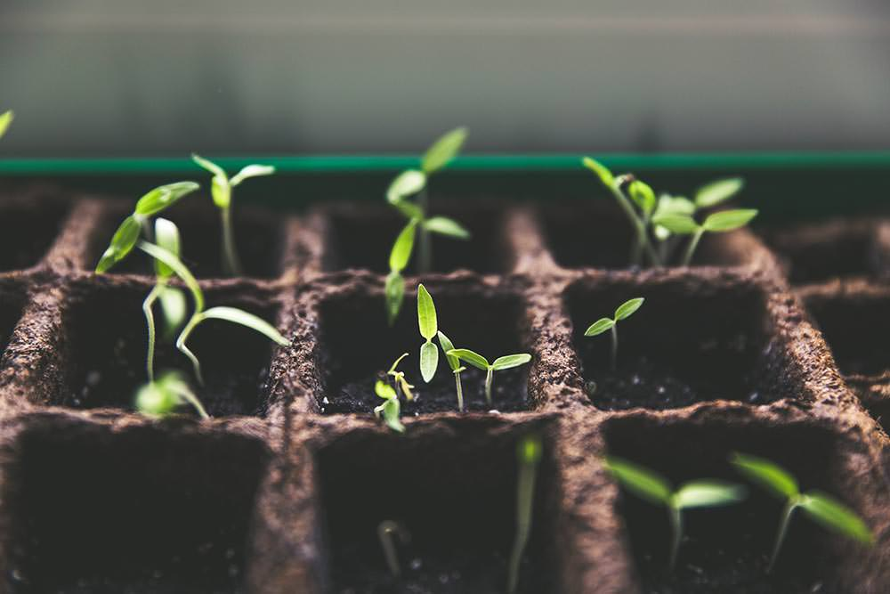 Guide on germination of cannabis seeds