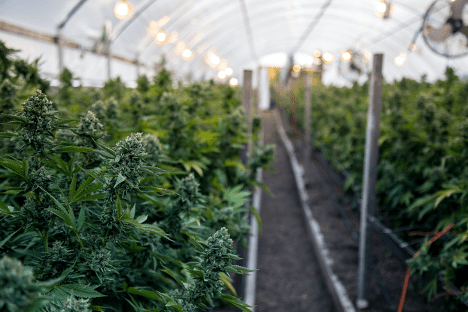 dagga-license-south-africa-growing-green-house-min