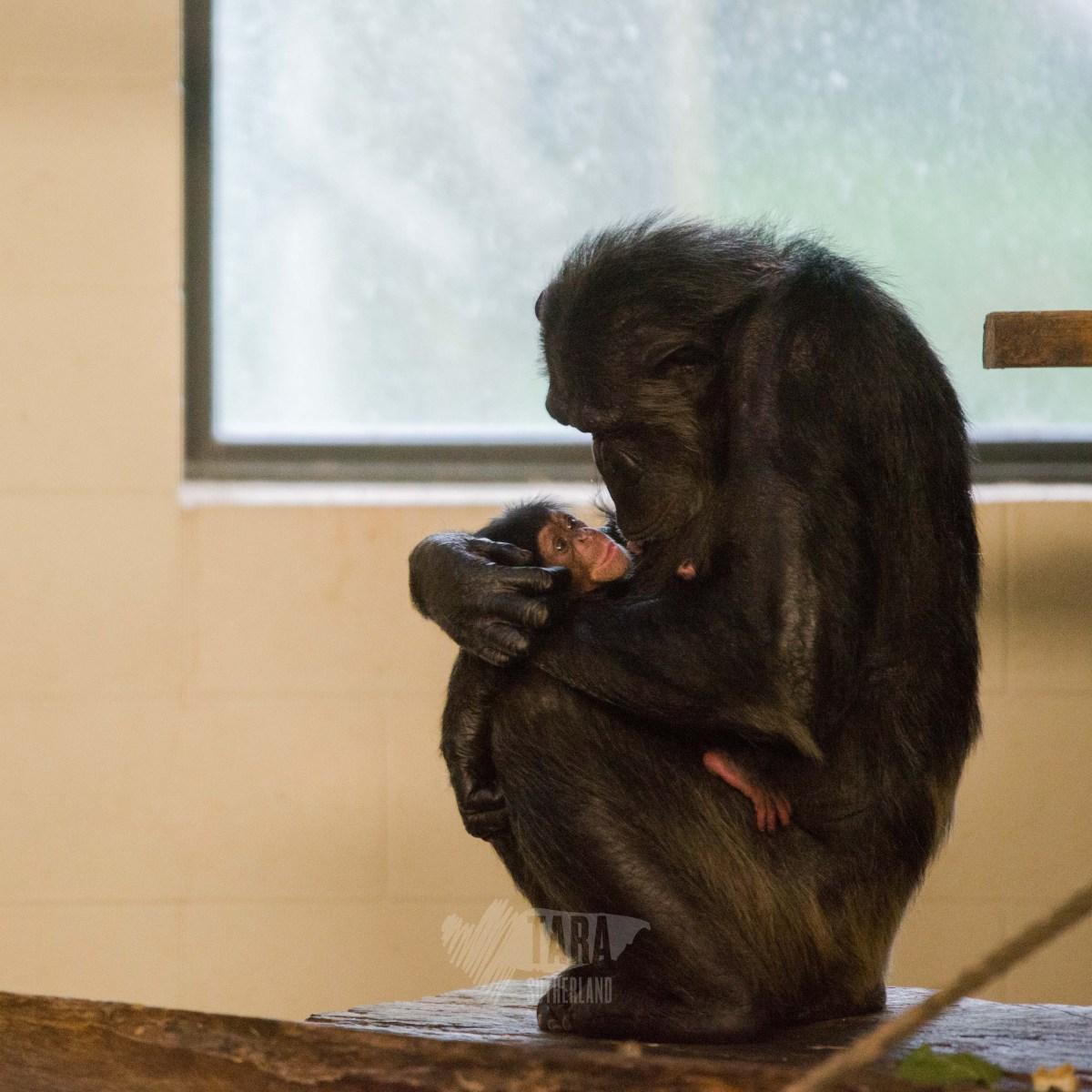 New Zealand's Top Mummy Blogger Parenting Hamilton Zoo Chimp