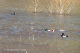 Ring-necked Duck, Northern Shovelers, and an American Coot