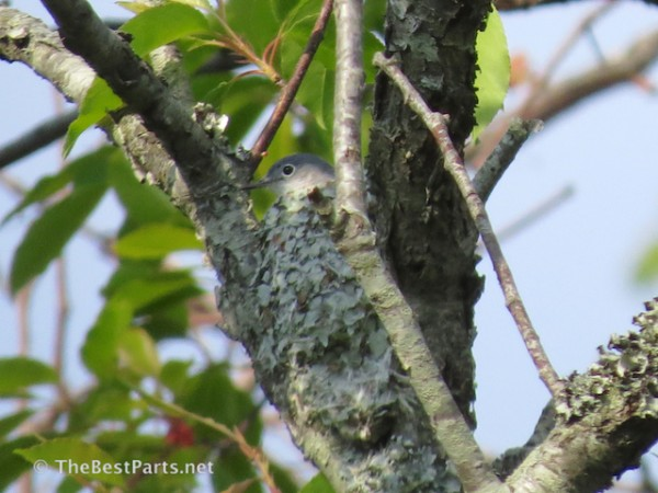 Blue-gray Gnatcatcher in nest