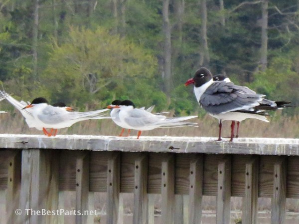 Laughing Gulls and Forster's Terns