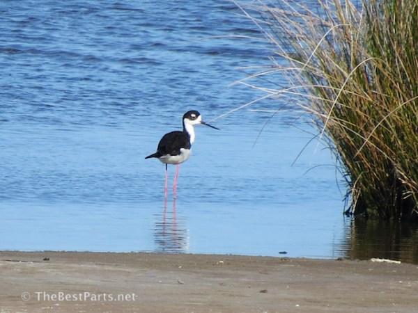 Black-necked Stilt 1