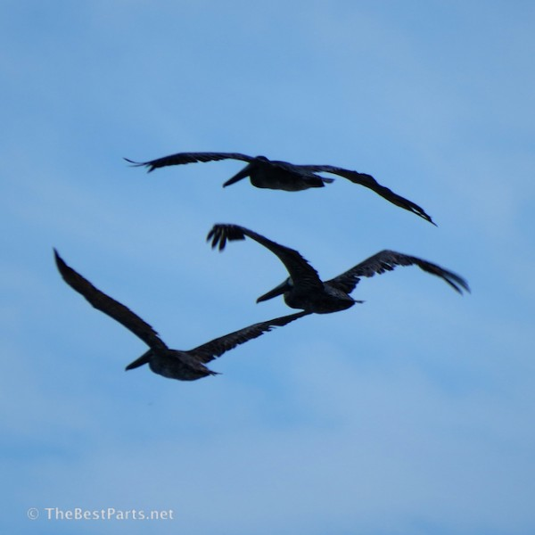 Brown Pelicans going