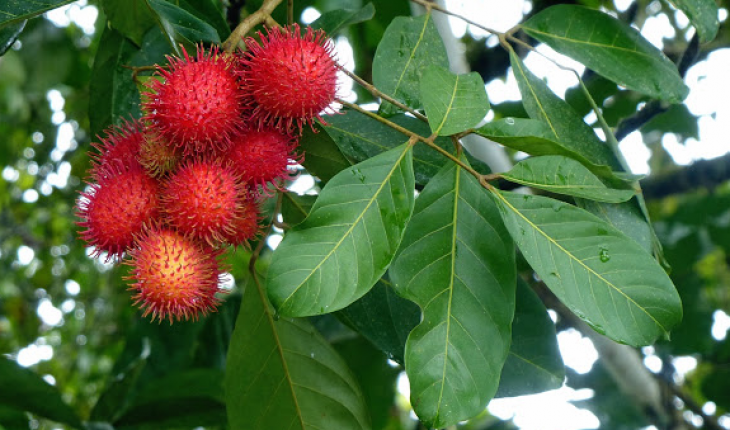 Eco-Detergent From Rambutan And Papaya Leaves