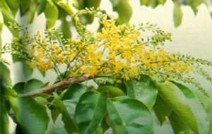 Potency Of Amboyna Wood as a Natural Antiseptic