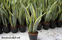Mask Products from Snake Plant Leaves