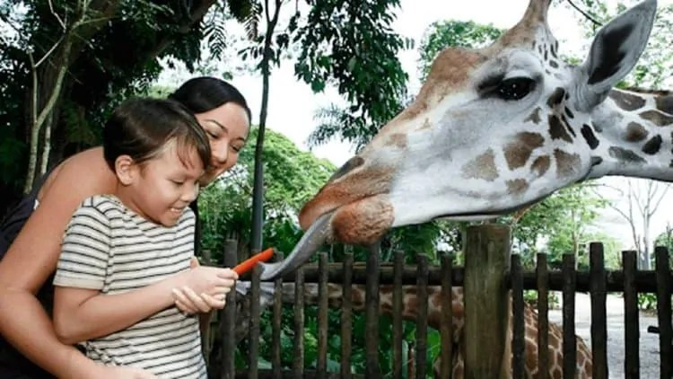 Giraffe feeding at Singapore Zoo