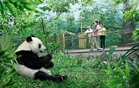 Pandas at Singapore Zoo