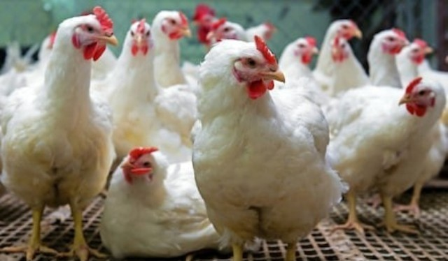 hope for poultry sector